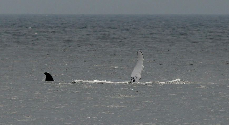 Whales were part of the action every day - like this one at St. Vincent's which was breaching and waving.