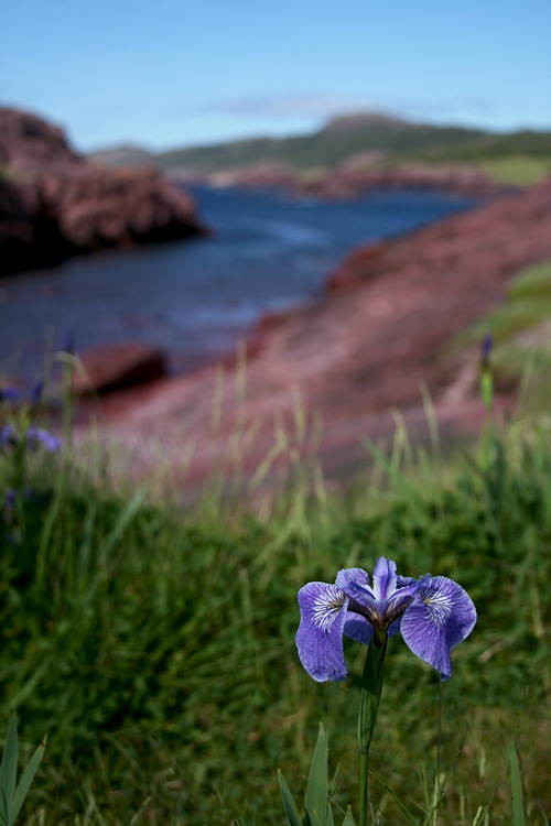 A shot of Tickle Cove with an iris in the foreground.