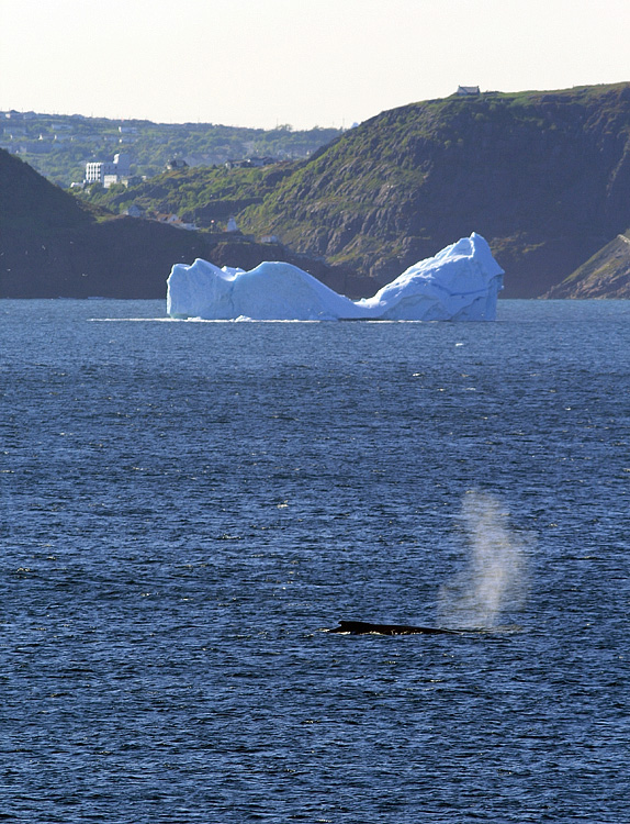 This nealy iconic photo of St. John's narrows, an iceberg and a humpback whale was taken from Cape Spear, North America's easternmost point.