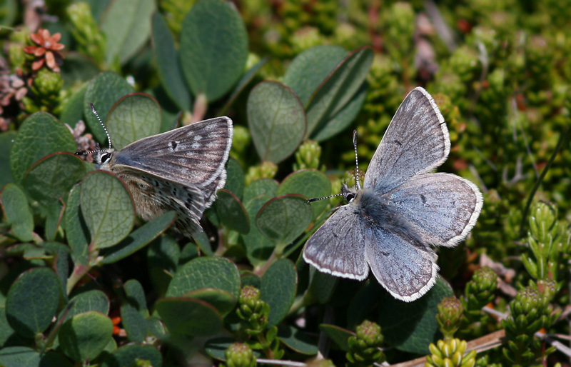 Northern Blue butterflies were abundant at the tip of the Bonavista Peninsula ... I spent a fair bit of time chasing them around the barrens trying to catch a decent photo!