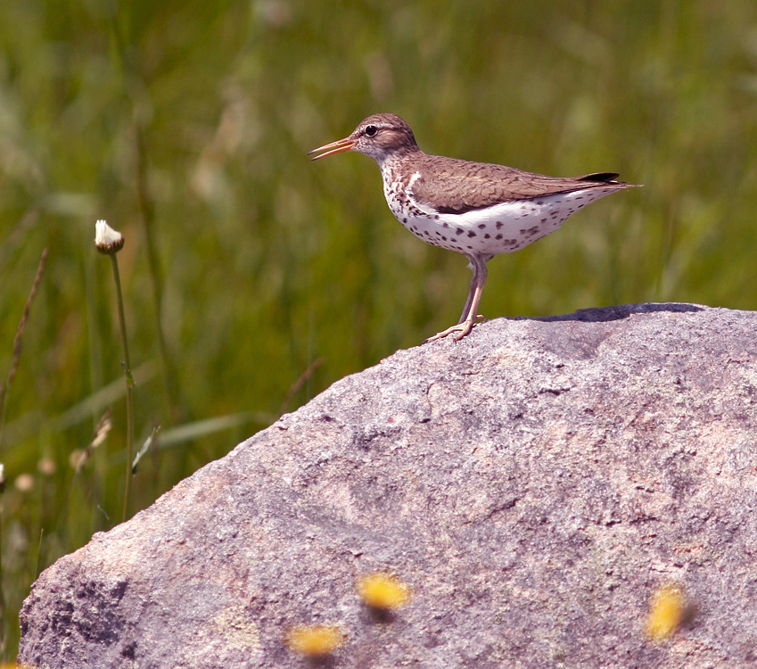 A short hike around King's Cove (while the rest of the group enjoyed the zodiac ride!) included a very confiding Spotted Sandpiper