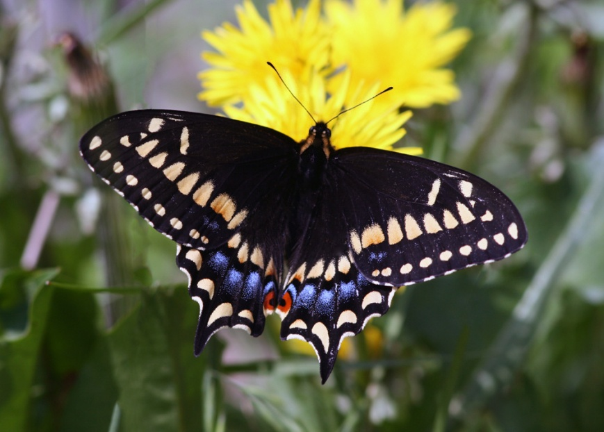 Cape Pine also produced our first Short-tailed Swallowtails of the trip ... they were plentiful at most headlands during the week.