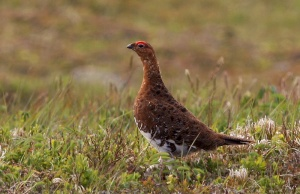 Willow Ptarmigan are year-round residents on the barrens that surround the reserve.