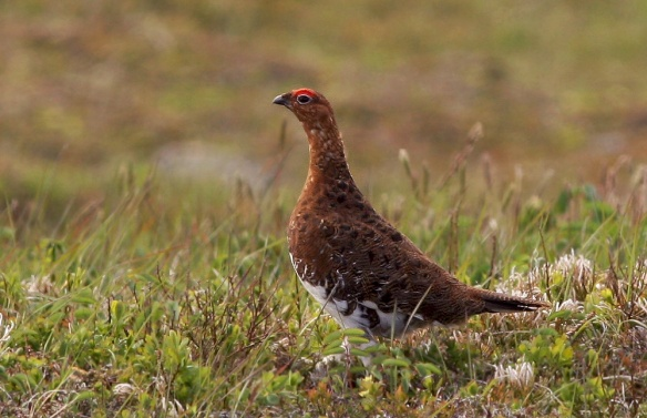 A pair of Willow Ptarmigan graced us by crossing the road near Newfoundland's southernmost lighthouse, Cape Pine.