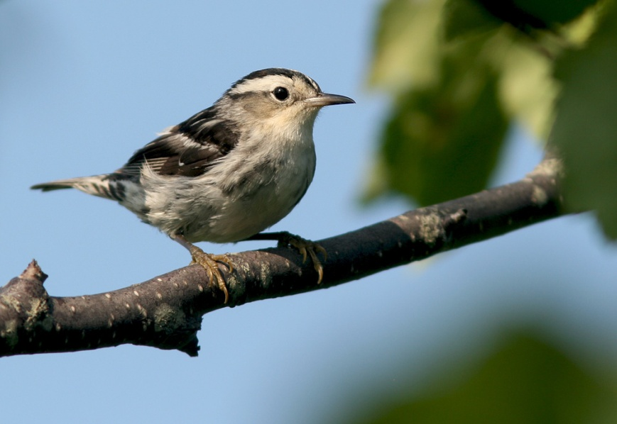A hoard of young warblers, including this Black & White Warbler, was gathered at the entrance of a walking trail in Old Perlican. It was nice to see so much activity in one small area - a sign of things to come as the birds gear up for fall migration.