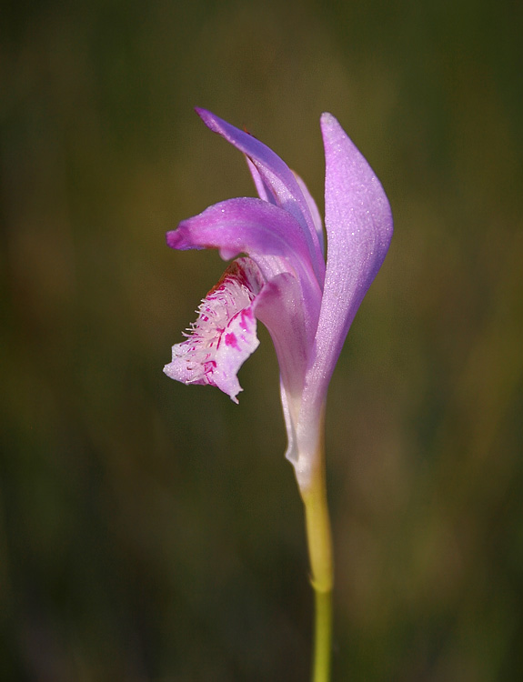 Dragonsmouth Orchid (Arethusa bulbosa) was fairly common on the bog I trekked across between Old Perlican and Grates Cove.