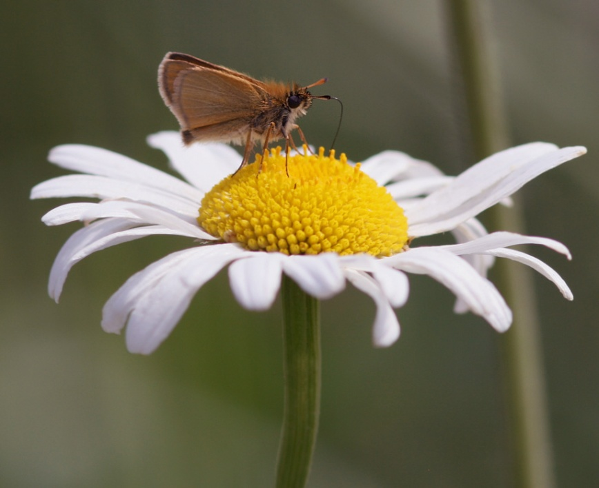 """... as were European Skippers. These were my """"first of the season""""."""
