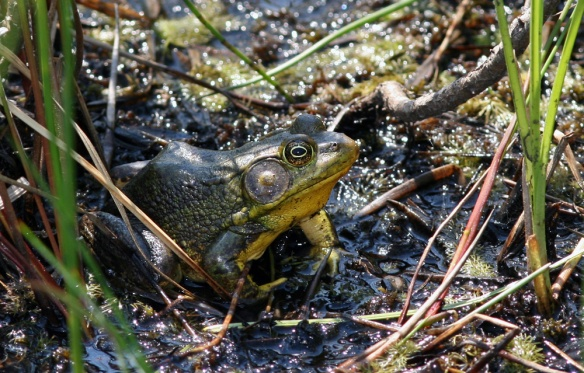 Also hiding amongst the grass were some Green Frogs.