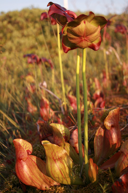 Pitcher Plants were in full glory, dotting the landscape and every wet patch in the area.