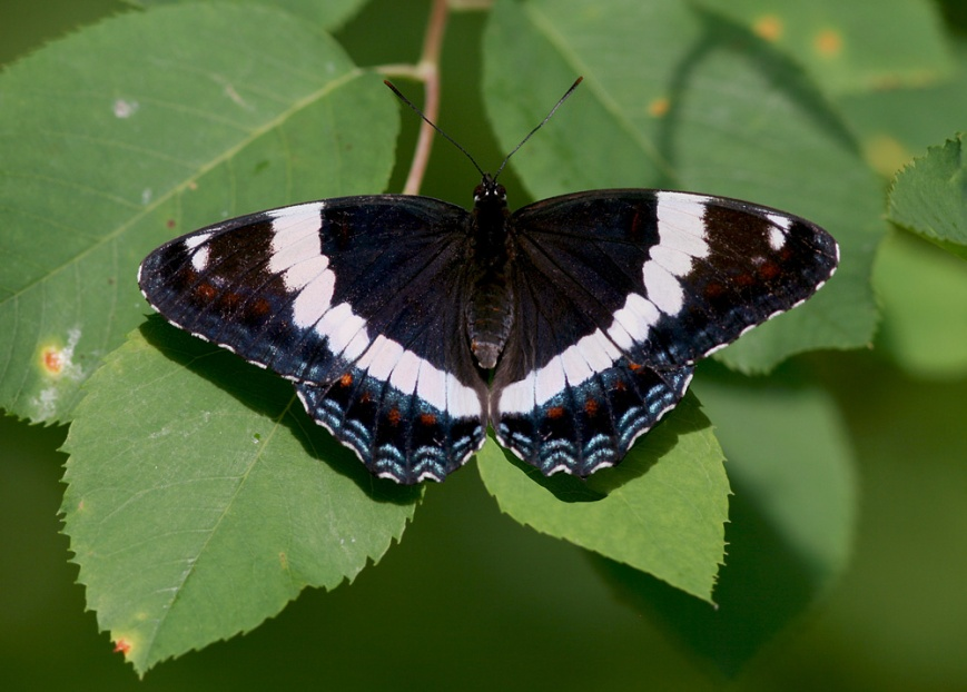 Butterflies were also plentiful, including a few White Admirals. I found these to be more plentiful than in most years, but not nearly as abundant as Milbert's Tortoiseshells which were by far the most common butterfly on the wing that week.