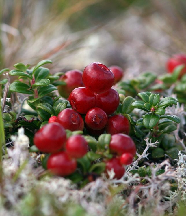 It was nice to see the first Partridgeberries turning red on the barrens, although it was the blueberries that got most of our attention in August.