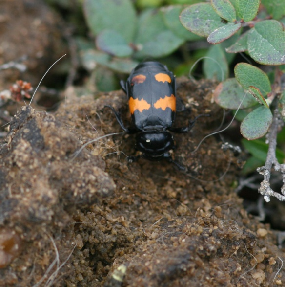 It was interesting come upon some Burying Beetles (Nicrophorus sp) at work alongside one of my favourite walking trails.