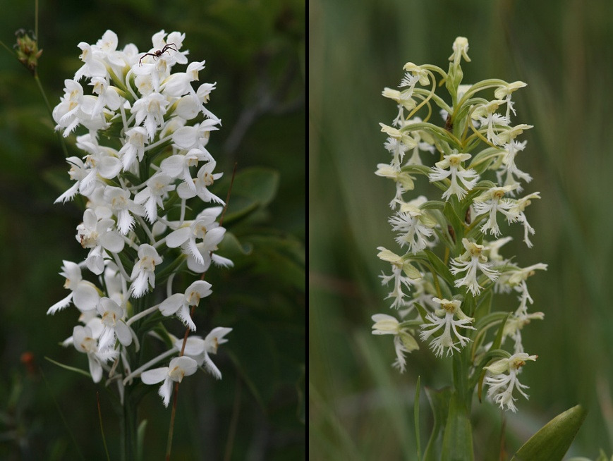 Beautiful flowers, such as these White-fringed (left) and Ragged-fringed (right) Orchids were blooming in roadside bogs during our drives.