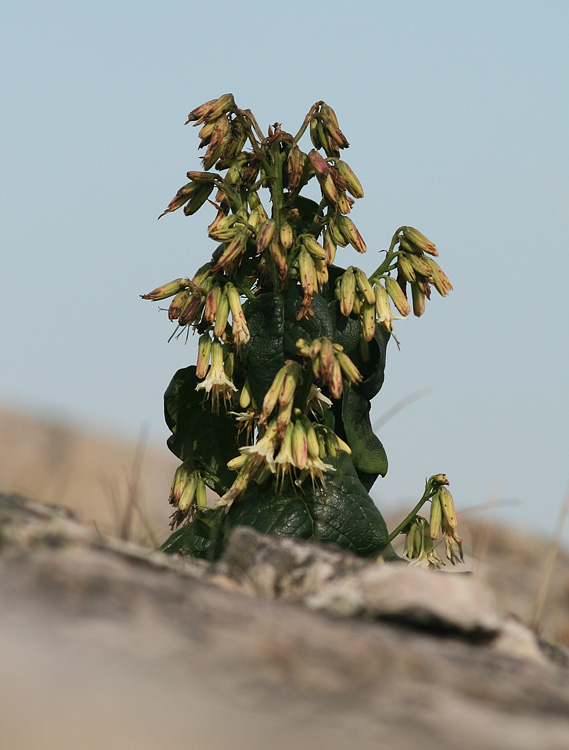 More abundant, but less splendid, was Gall of the Earth - an odd flower that looks sickly even when its in full bloom!