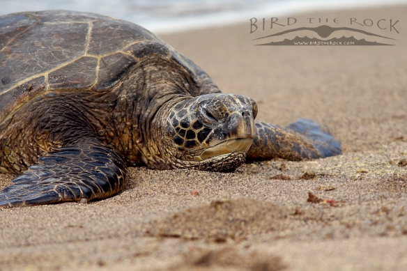 GreenSeaTurtle_3292wm
