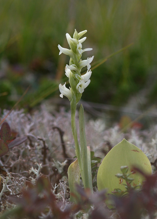 The last of our orchids to flower, Hooded Ladies Tresses, were popping into bloom in mid-August.