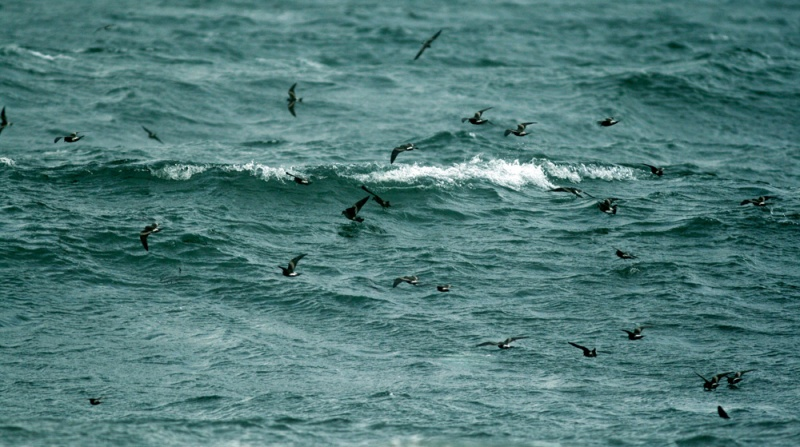 Thousands of Lach's Storm Petrels fluttered over Conception Bay, driven there by the strong wrap-around winds from Tropical Storm Cristobal (August 29).