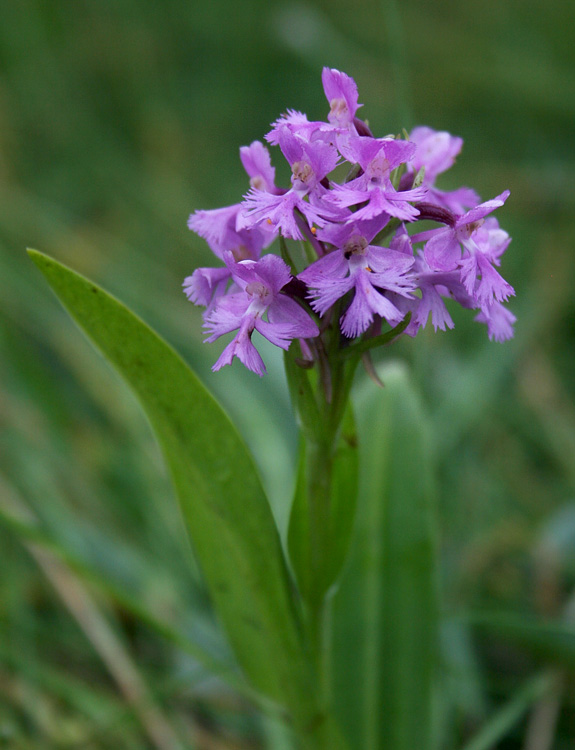 Small Purple-fringed Orchids were also in bloom at Cape St. Mary's - often hiding amongst patches of longer grass.