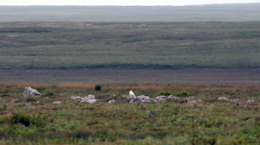 We encountered a Snowy Owl sitting on the barrens near St. Shott's - an unusual sighting here in mid-summer but one of several known to have lingered after last fall's big invasion.