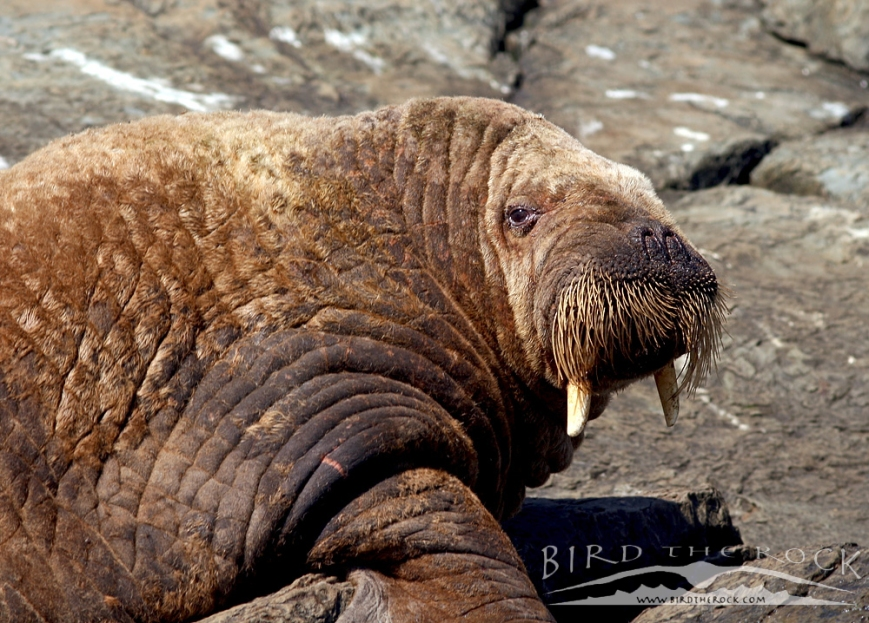 Walrus_Sept22014_7948wm