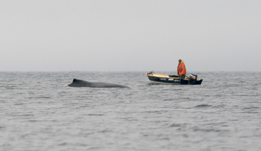 Whales were plentiful in Trinity Bay, and we enjoyed close encounters with twenty or more Humpbacks during our two zodiac trips with Sea of Whale Adventures.