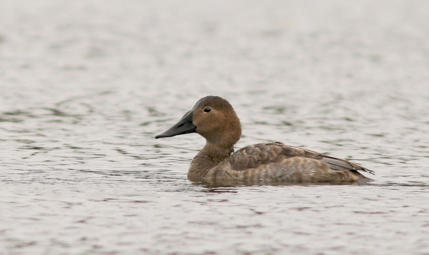 This immature Canvasback provides just the second record for Newfoundland, with the last one having been more than 40 years ago!