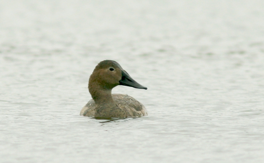 Canvasback_Oct9_9113