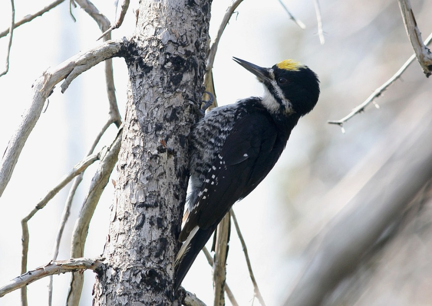 Black-backed Woodpecker is another sought-after species that breeds throughout the boreal forests of the park.