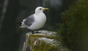 Large numbers of Black-legged Kittiwakes also breed in the reserve, showing off their understated beauty.