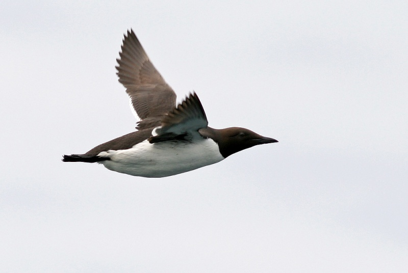 Murres may have less distance to travel after a long winter out at sea, but their return is no less notable.