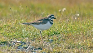 (Not Quite) Terrible Photo #3 - Killdeer. I even struggled to get a nice picture of a relatively tame bird!