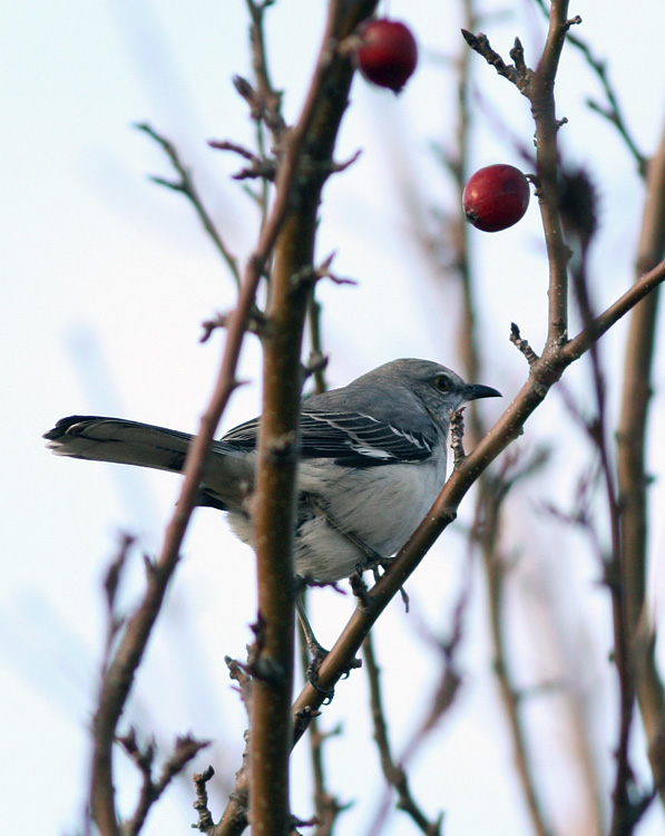 Terrible Photo #2 - A Northern Mockingbird in Cape Broyle. This is an annual rarity in Newfoundland, although I certainly don't see one every year.