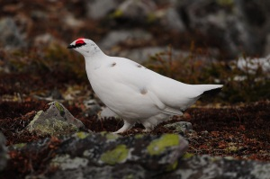 Rock Ptarmigan are an iconic bird of Gros Morne National Park. They are year-round residents of the Long Range Mountains which stretch along the coast and throughout the park. - Photo: Darroch Whitaker