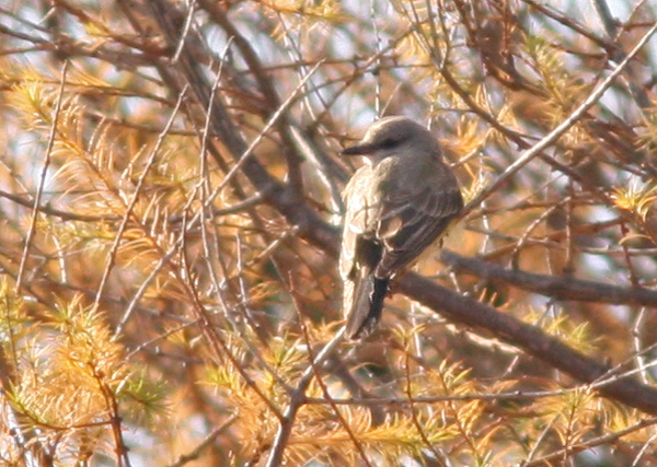 "Terrible Photo # 4 - Western Kingbird, Ferryland. This is an excellent bird in Newfoundland, and ""probably"" our bird of the day. Too distant, tough light ... all the regular excuses."
