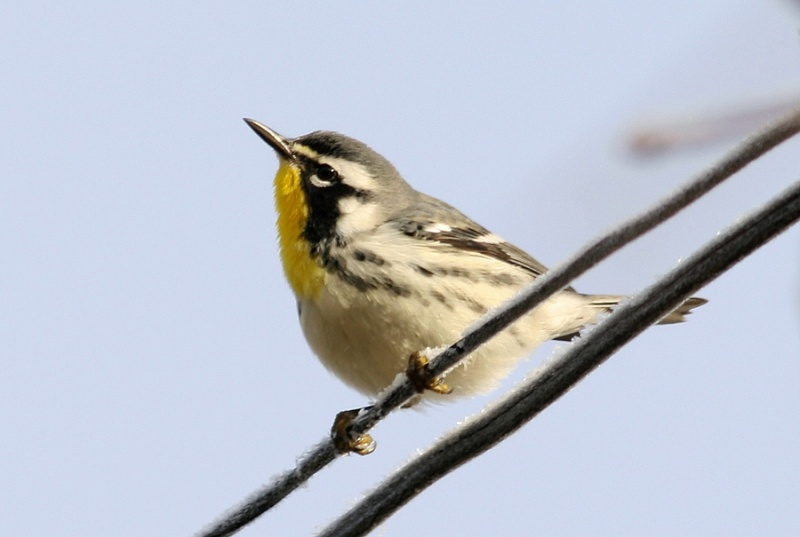 Yellow-throated Warblers have a funny habit of showing up in Newfoundland in late fall and early winter, despite the fact their normal range is much further south. During cold weather, these beautiful birds will sometimes visit suet feeders, delighting backyard birders lucky enough to find one in their neighbourhood!