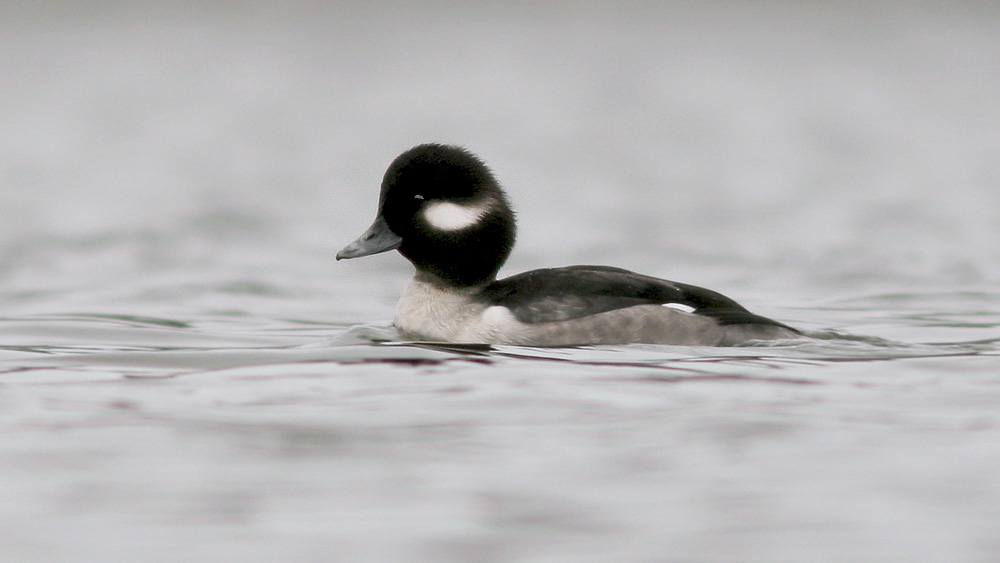 This Female Bufflehead Was A Bit Of A Treat For Me Pretty Uncommon