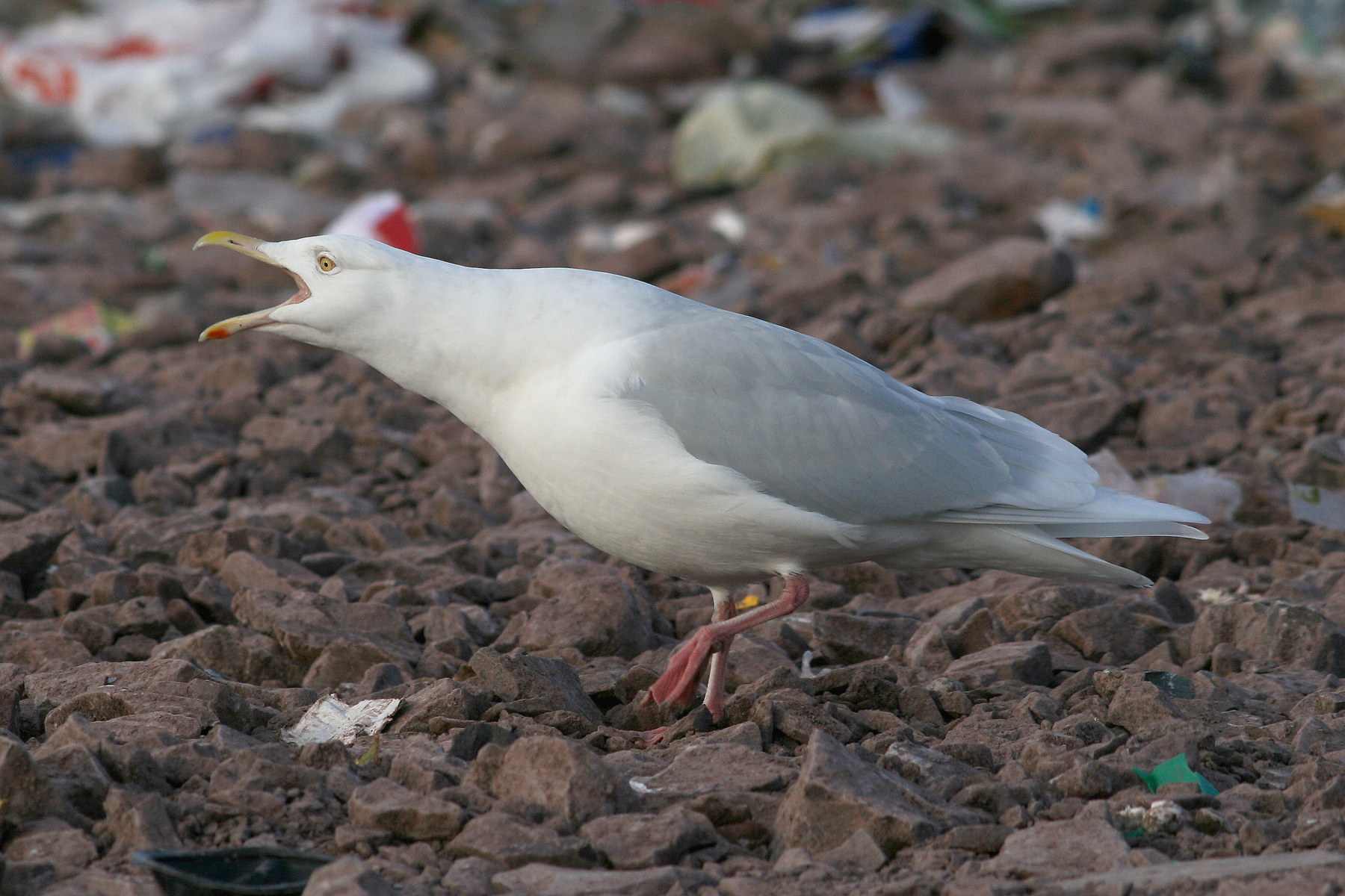 Glaucous Gulls are a sure sign of winter in Newfoundland ... even if the weather says different. This adult was photographed at the dump back in the days when we were able to get in more regularly.