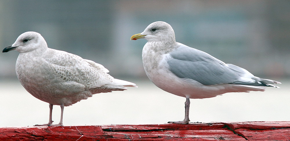 """Thousands of """"Kumlien's"""" Iceland Gulls spend the winter in St. John's, providing world-class opportunities to see and study this very northern species. The variation within this """"complex"""" can be ... well, complex. But fun!"""