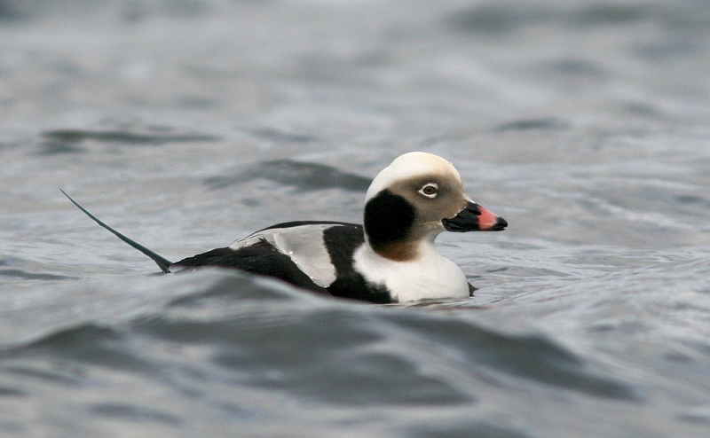 "This drake Long-tailed Duck (locally called ""hounds"") was feeding at the end of a breakwater in St. Bride's. Between dives, I managed to sneak up quite close by edging along on the piled boulders."