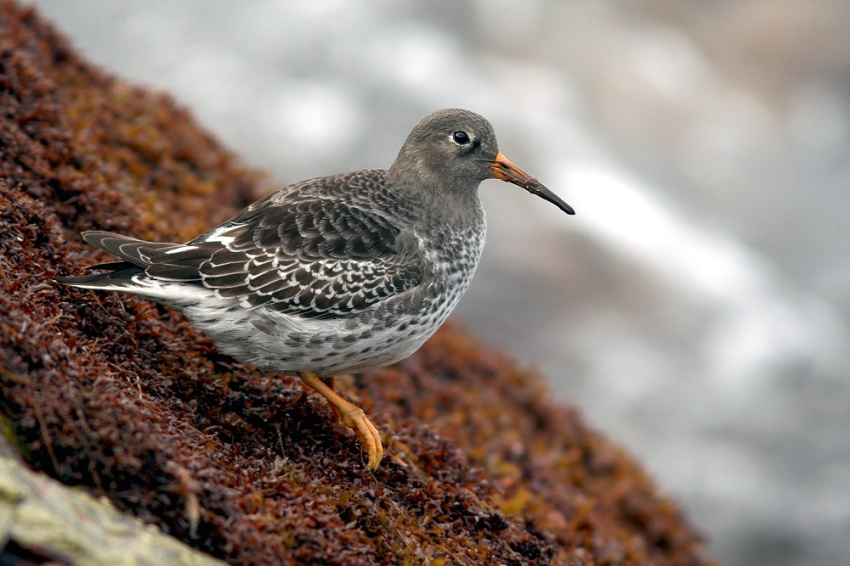 Purple Sandpipers are among my favourite shorebirds ... they eke out their winters here in some of the most unforgiving habitats you can imagine.