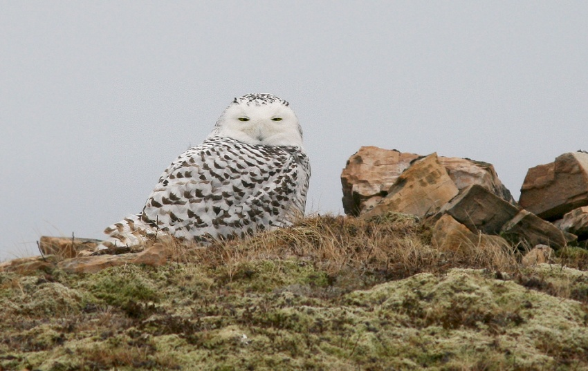 It's been another good year for Snowy Owls, and were were greeted by several as we arrived at Cape St. Mary's for dawn.