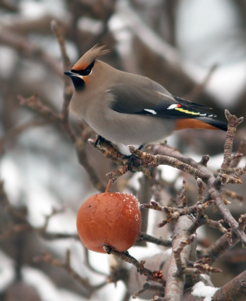 A major highlight of our week was finding a flock of Bohemian Waxwings in the historic Battery neighbourhood With about one hundred birds and maybe seven apples, there quite a ruckus at times!