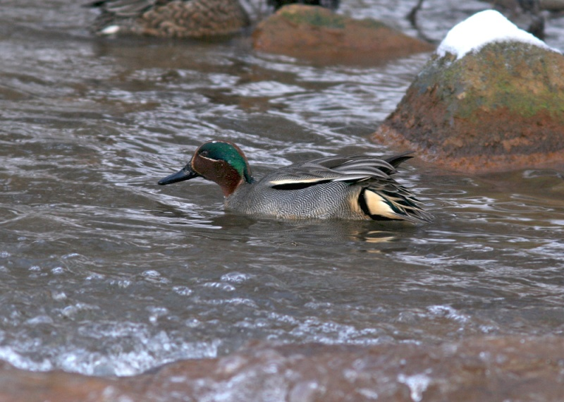 """We found this drake Common (aka Eurasian Green-winged) Teal in a small city brook. I consider this a """"pocket species"""", since maybe it will be split someday."""