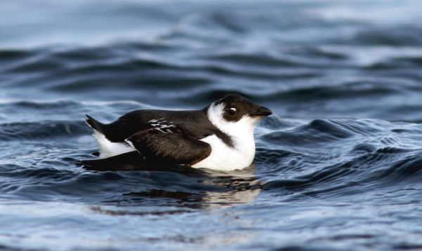 Newfoundland is one of the few places in North America where you can see Dovekie from land, and in many ways it is a symbol of winter for both local and visiting birders alike.