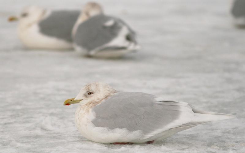 "Visitors are often amazed at the variation among our wintering Iceland Gulls. The vast majority are of the ""Kumlien's"" race, but every now and then we encounter a candidate ""glaucoides"", like this one."