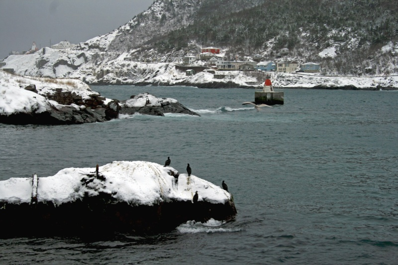 Great Cormorant often hang out in St. John's harbour - sometimes with a very neat and historic backdrop.