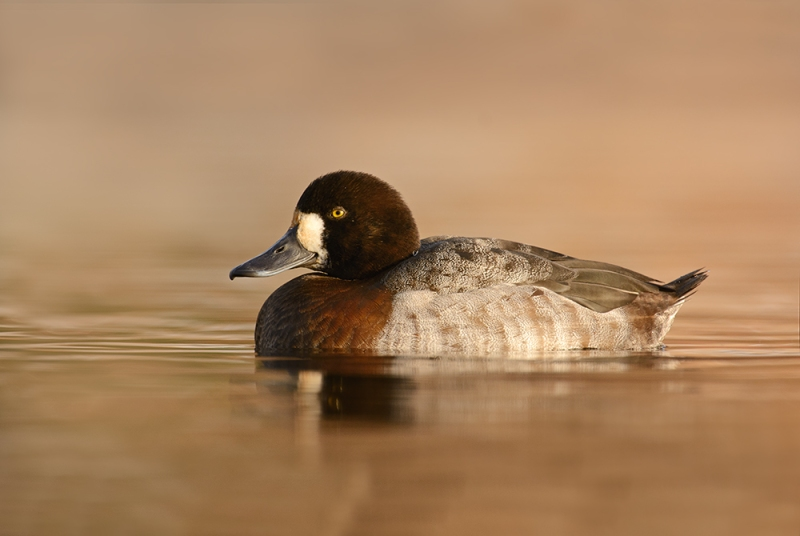 GreaterScaup1