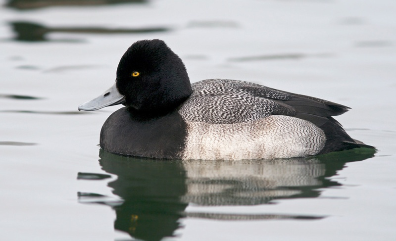 Most scaup in Newfoundland are Greater Scaup, but careful observers can often pick out a Lesser Scaup or two (like this one).