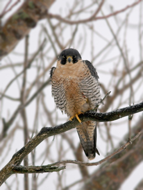 This adult Peregrine Falcon has been hanging out near Quidi Vidi lake and provided great looks for our WINGS participants!