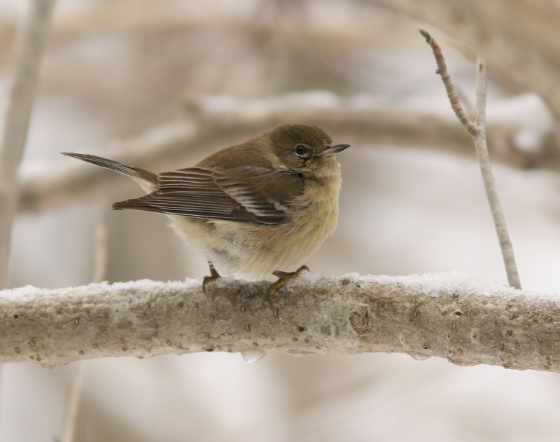 This Pine Warbler is out of its element here in the middle of our winter, but seems to be doing okay for itself thanks to a few helpful birders keeping the park stocked with food.